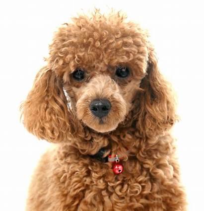Poodle Teacup Toy Puppies Poodles Dog Tea