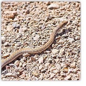 snakes  phoenix  rattlesnakes  arizona safe
