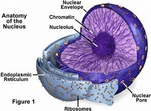 Cell Components And Their Functions