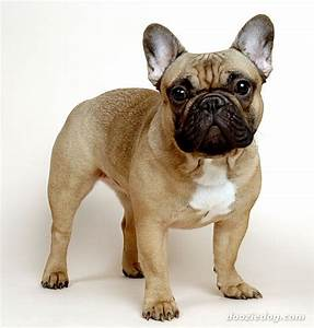 French-Bulldog-4.jpg