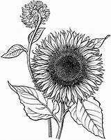 Sunflower Coloring Pages Drawing Line Printable Adult Flower Blooming Drawings Sunflowers Realistic Sheets Sketch Draw Children Mandala Books Birds Gardens sketch template