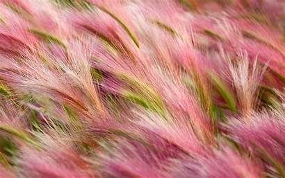 Barley Foxtail Wallpapers