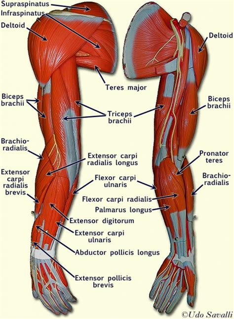 Anatomy Arm Muscles Human Anatomy Muscles Arm Anatomy. Computer Services Company Cisco Mpls Training. Interest On Corporate Bonds Open Cloud Stack. Chiropractic Personal Injury Marketing. Buzz Recovery Detoxifier Juice. Network Billing Systems Inverter Solar Panels. How To Get Rid Of Opossum Hyatt Senior Living. Joint Life Insurance Policy Acne On Dry Skin. Early Childhood Masters Degree Online
