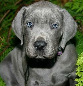 Blue great dane puppy picture.PNG