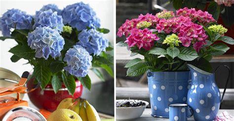 quand planter un hortensia en pot 28 images cultiver des hortensias pratique fr o 249 quand