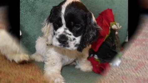 The cocker spaniel originated in spain, but were perfected in england. Cory an adorable male blackwhite parti cocker spaniel puppy for sale - YouTube