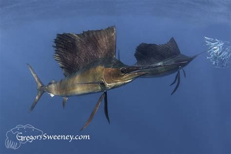 sailfish gallery sardine run isla mujeres photography