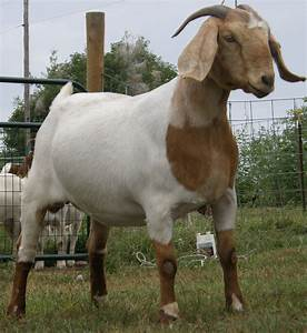 The Boer Goat | The Goat Guide - Community Resource
