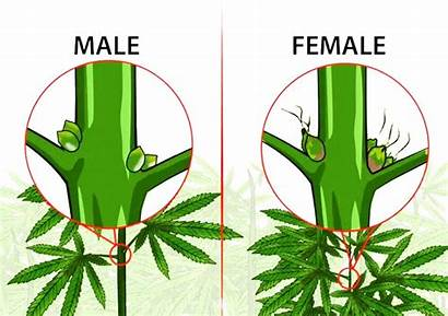 Weed Male Female Plants Plant Difference Between