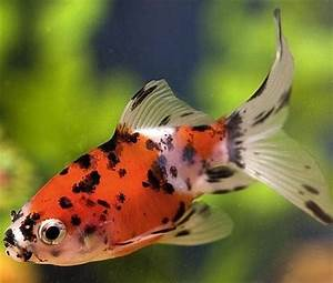 Orange Comet Goldfish