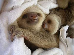 Napping Sloths