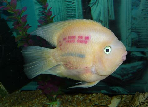 blood parrot fish file blood parrot cichlid 2010 g1 jpg wikimedia commons