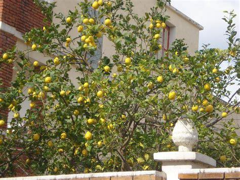 faites une plante d 233 sodorisante avec des p 233 pins de citron