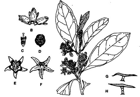 Anacardiaceae Diagram Of The Flower Floral by Argophyllaceae Junglekey Fr Image