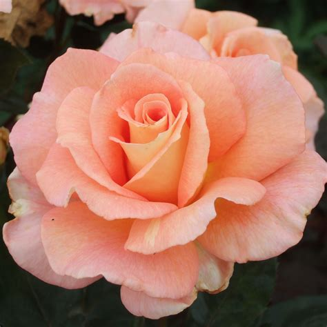 for roses king s macc hybrid teas type