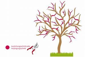 Kirschbaum Richtig Schneiden : obstbaumschnitt grundlagen zum schneiden von obstb umen ~ Lizthompson.info Haus und Dekorationen