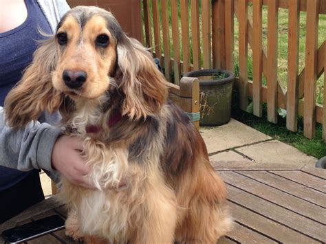 Rare Unusual Colour Sable Spaniel | Norwich, Norfolk ...