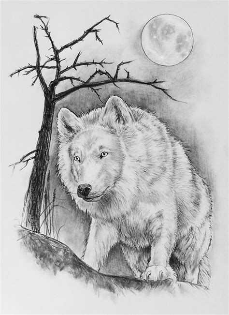 artic wolf drawing  bernadett kovacs