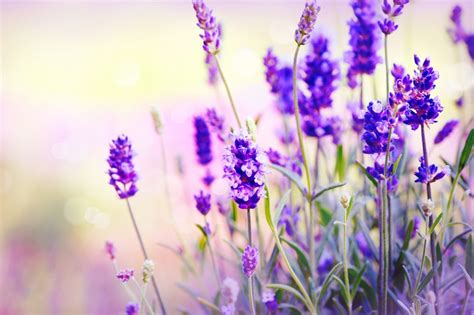 lavender and mosquitoes 10 plants to grow in brisbane that repel mosquitoes brisbane kids