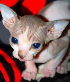 hairless cats for damn cool pictures hairless cats
