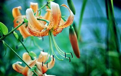 Flowers Wallpapers Flower Backgrounds Lilia Tygrysia Desktop