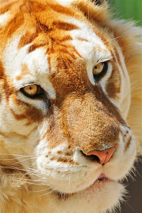 Have You Ever Heard Golden Tigers Taildom