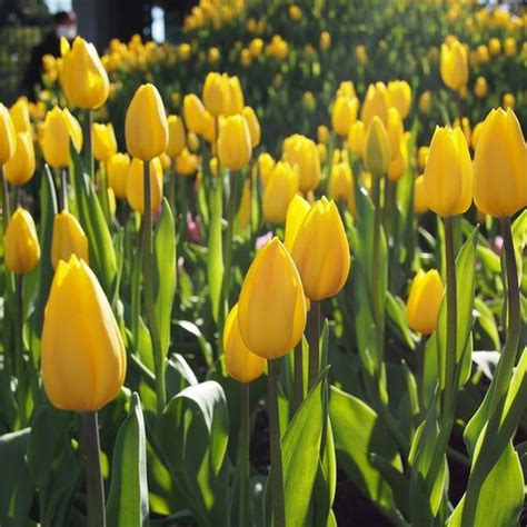 Tulpen Pflanzen Balkon by Tulpen Pflanzen Pflege Und Tipps Brigitte De