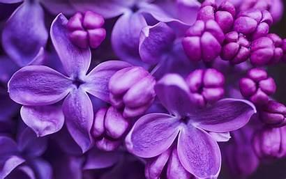 Lilac Flower Close Purple Flowers Background Blossom