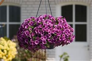 Hängepflanzen Für Balkonkästen : h ngepflanzen und ampelpflanzen f r zimmer und balkon ~ Michelbontemps.com Haus und Dekorationen