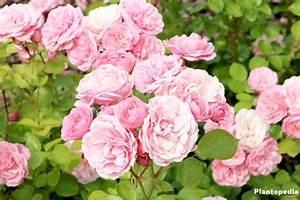 Wann Schneidet Man Rosen : rosen richtig schneiden gartentipp rosen richtig schneiden youtube rosen richtig schneiden ~ Eleganceandgraceweddings.com Haus und Dekorationen