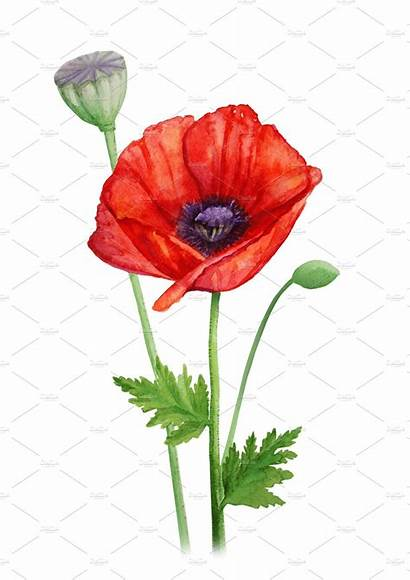 Poppy Watercolor Flower Painting Illustration Stalk Drawing