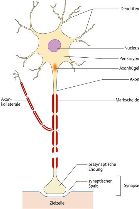 aufbau nervenzellen via medici leichter lernen mehr verstehen