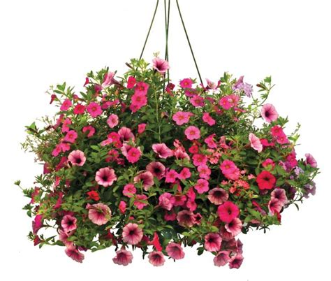 hanging flowers flowering annuals thank you very mulch