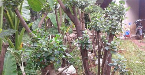 jual pohon beringin korea murah taman minimalis