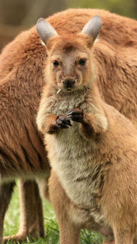 Kangaroo Pics Impremedianet