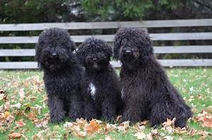 Hickory Tavern Farm Barbet: Happy Fall from our Barbet Dogs!