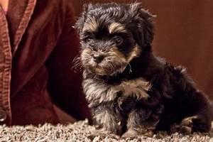 Havanese Puppies – Ready september 2017 | AKC Havanese Puppies