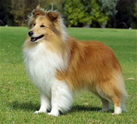 shetland sheepdog breed info breeders  puppies
