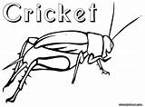 Cricket Coloring Pages Insect Drawing Crickets Animal Colorings Getdrawings sketch template