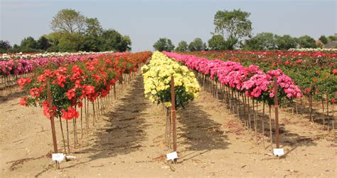 Rose Flower Carpet Pink by Home Whartons Nurseries Limited Wholesale Garden Roses