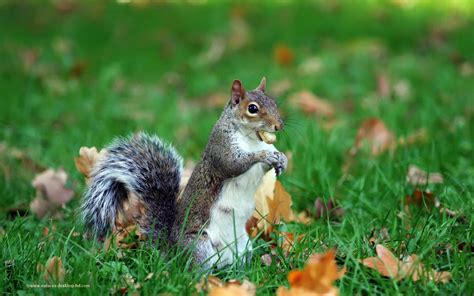 Animal Wallpaper Uk - squirrel wallpapers hd pictures one hd wallpaper