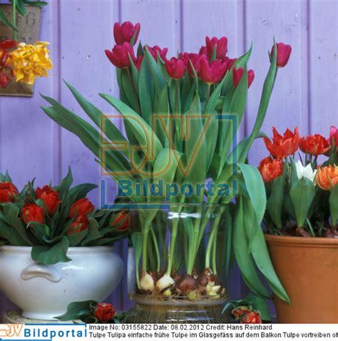 Tulpe Tulipa Einfache Frühe Tulpe