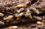 消滅白蟻 | 白蟻防治處理 | 除白蟻工程 | 震陞蟲害防控