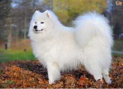 Samoyed Dog Dogs Breeds Breed Facts Adopt