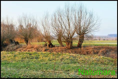 Le saule têtard, plaidoyer pour un arbre - Le blog de natumara