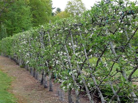 tree espalier belgian fence an espalier style for fruiting trees 11 types of apple trees make a 100foot