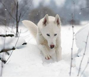 76 best images about White husky puppies on Pinterest ...