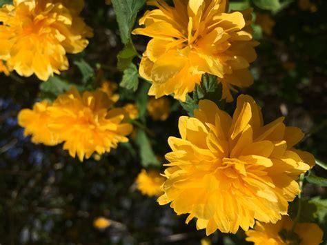 gelb blühender strauch der auffallend gelb bl 252 hende strauch geh 246 rt zu einem der