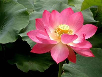 Lotus Flowers Flower Facts