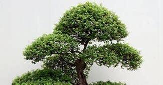 bonsai tanaman hias unik langka